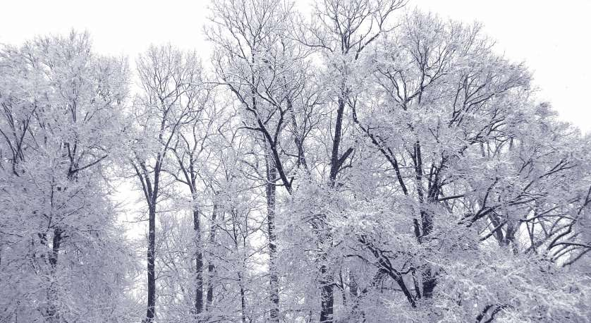 snowy trees at cedar lane in winter